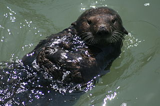 Sea otter at Moss Landing.