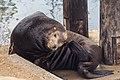 Seal in Morrow Bay 3.jpg