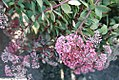 Sedum cauticola Ruby Glow 3zz.jpg