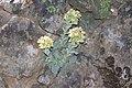 Sedum paradisum Shirtale Peak 005 (8345875727).jpg