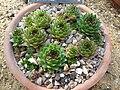 Sempervivum tectorum (Crassulaceae) plant.jpg