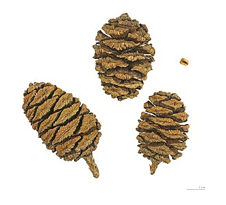 Sequoiadendron giganteum - Giant sequoia cones and seed