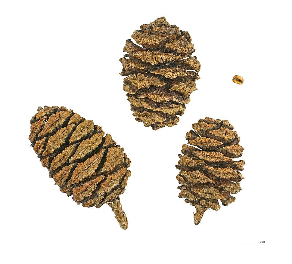 Sequoiadendron giganteum MHNT.BOT.2004.0.191