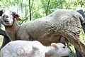 Sheep in Braga Portugal (1).jpg