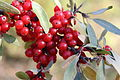 Shepherdia canadensis 06.JPG