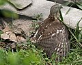 Shikra (Accipiter badius) with a captured Common Myna (Acridotheres tristis) W2 IMG 0753.jpg