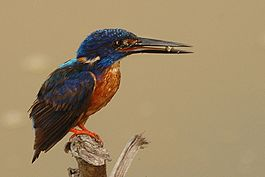 Shining blue kingfisher.jpg