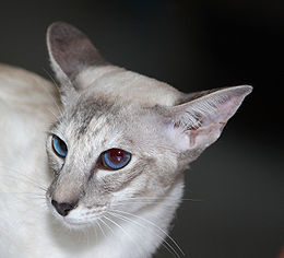 Siam-Katze-blue-tortie-tabby-point.jpg