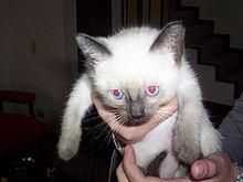 Sphynx Cat Average Litter