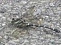 Sieboldius albardae(Male,Japan,17.08.16).jpg
