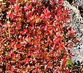 Sieversia pentapetala (autumn leaf).jpg