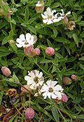 Silene vulgaris maritima1.jpg