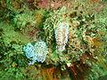 Silver tipped nudibranchs at Lorry Bay PB011902.JPG