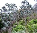 Silvertrees on Mountain Slope - Leucadedron argenteum.jpg