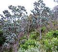 Silvertrees on Mountain Slope - Leucadedron argenteum.jpg