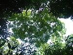 Canopy of Simarouba amara