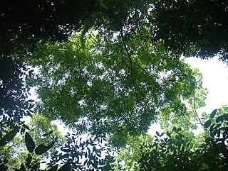 <i>Simarouba amara</i> Species of tree in the family Simaroubaceae