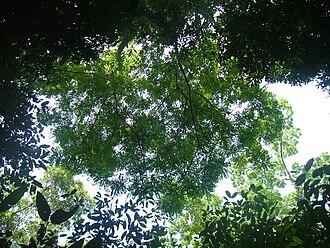 Simarouba amara - The canopy of Simarouba amara
