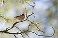 Singing Willow Warbler.jpg