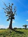 Single Tree in the Udawalawe National Park.jpg