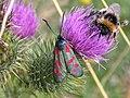 Six-Spot Burnet moth (Zygaena filipendulae) - geograph.org.uk - 901847.jpg