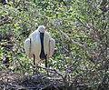 Skedstork Eurasian Spoonbill (14526008565).jpg