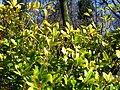 Skimmia japonica 2.JPG