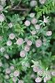 Slagharen - Hazenpootje (Trifolium arvense).jpg