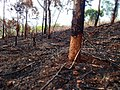 Slash and burn agriculture, Cameroon.jpg
