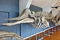 Slottsfjellsmuseet Museum Hvalhallen (Whale Hall) Tønsberg, Norway. Hvalskjeletter (Old skeletons) Nebbhval (Bottlenose whale Hyperoodon ampullatus) etc 2020-01-21 2311.jpg