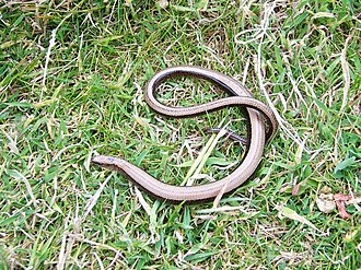 Ailsa Craig - A slowworm on the island
