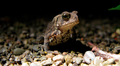 Small toad - belly markings (6123154413).png
