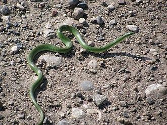 Smooth green snake - Image: Smooth Green Snake (11856962215)