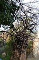Sogorb, arbre sobre un mur a l'antic camí de Jericó.JPG
