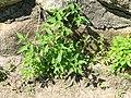 Solanum americanum plant2 (16189943895).jpg