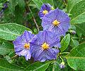 Solanum rantonnetii, the Blue Potato Bush. (11397097293).jpg