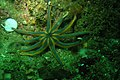 Solaster stimpsoni (2522499424).jpg