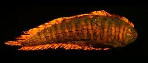 Soleichthys heterorhinos - Biofluorescence of Soleichthys heterorhinos