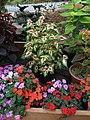 Solenostemon scutellarioides cultivars public domain IMG 4814.jpg