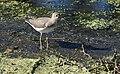 Solitary Sandpiper (29412537150).jpg