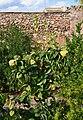 Soneja, codonyer d'un hort del carrer de san Miguel.jpg
