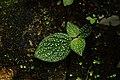 Sonerila sp 4225.jpg