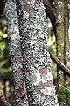 Sophora microphylla in Auckland Botanic Gardens 06.jpg