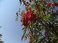 Sorbus aucuparia IMG 6851^.jpg