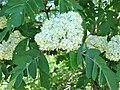 Sorbus hybrida. Mostayal híbrida (flores).jpg