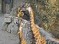 South African Giraffes 06.jpg