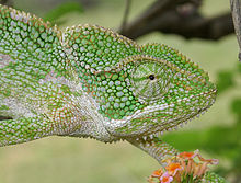 South Asian Chamaeleon (Chamaeleo zeylanicus) W IMG 1851.jpg