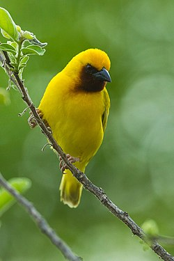 Southern Brown-throated Weaver - Malawi S4E3666 (22836900792).jpg