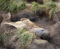 Southern Elephant Seal (5797752143).jpg