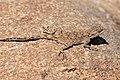 Southern Rock Agama (Agama atra) female (32364543350).jpg